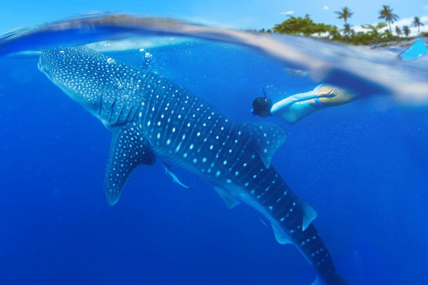 Swimming With Whale Sharks Holbox