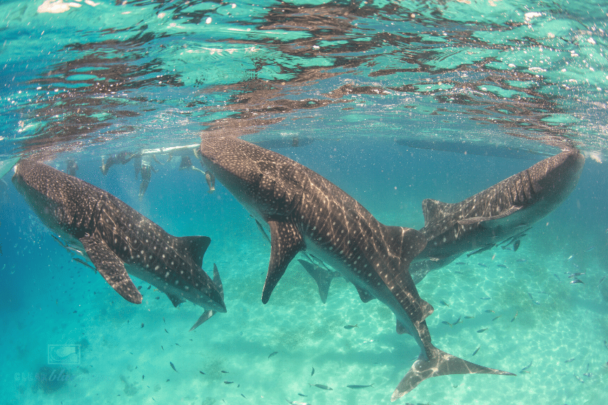 Whalesharks in Holbox. One of the best things to do in holbox mexico
